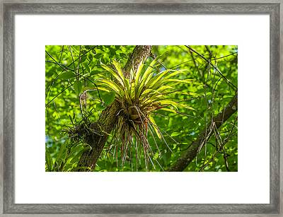 West Indian Tufted Airplants Framed Print by Rich Leighton