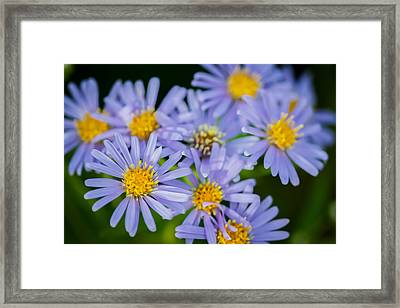 Western Daisies Asters Glacier National Park  Framed Print by Rich Franco