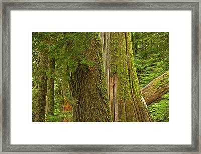 Western Hemlock, Cedar, Grove Framed Print by Michel Hersen
