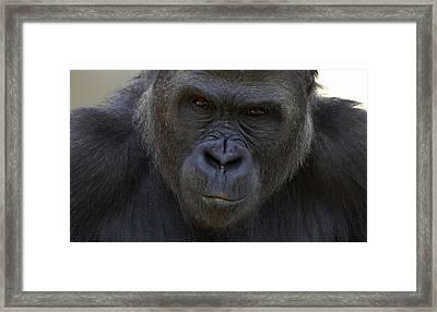 Western Lowland Gorilla Portrait Framed Print by San Diego Zoo