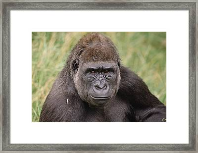 Western Lowland Gorilla Young Male Framed Print