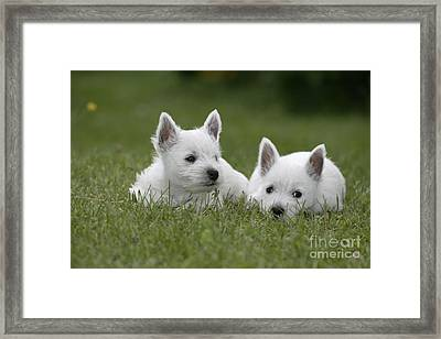 Westie Puppies Framed Print by Rolf Kopfle