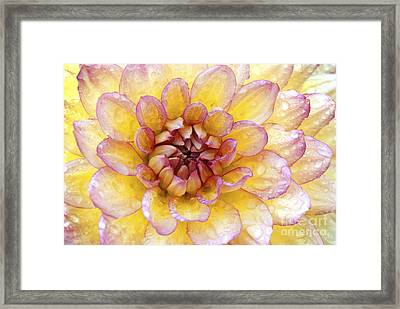 Wet Dahlia Framed Print by Paul W Faust -  Impressions of Light
