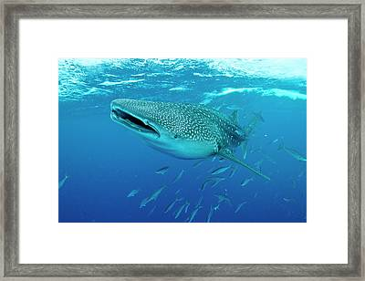 Whale Shark Swimming With Mouth Open Framed Print