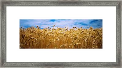 Wheat Crop Growing In A Field, Palouse Framed Print