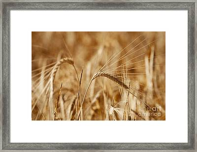 Wheat Framed Print by Jelena Jovanovic
