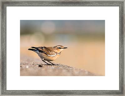 Wheatear Framed Print by Ian Hufton