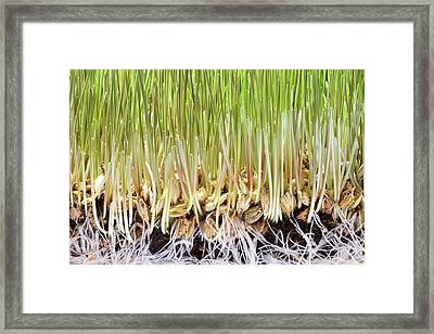 Wheatgrass Seedling Framed Print by Cordelia Molloy
