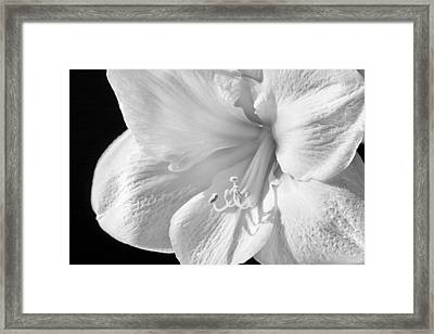 White Amaryllis Framed Print by Adam Romanowicz