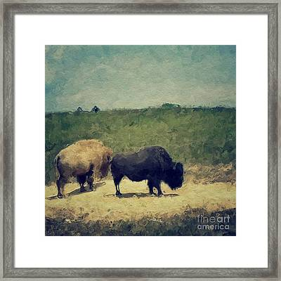 White And Black Buffalo Framed Print by Amy Cicconi