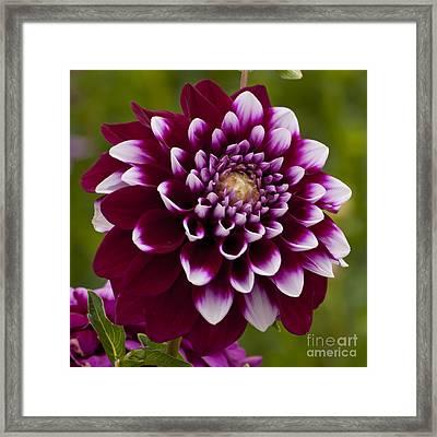 White And Purple Dahlia Framed Print by Mandy Judson