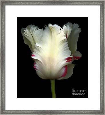 White And Red Tulip Framed Print