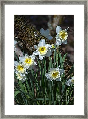 White And Yellow Daffodils Framed Print by Mandy Judson