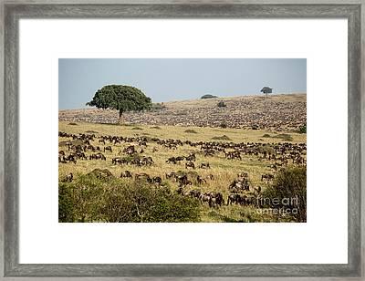 White-bearded Wildebeest Migration Framed Print by Greg Dimijian