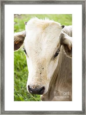 White Calf Framed Print by Jorgo Photography - Wall Art Gallery