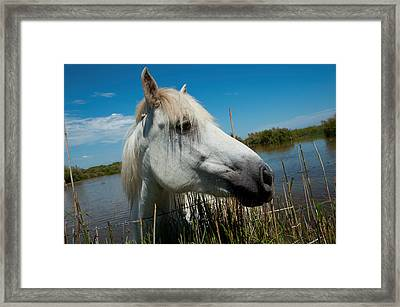 White Camargue Horse With Head Framed Print by Panoramic Images
