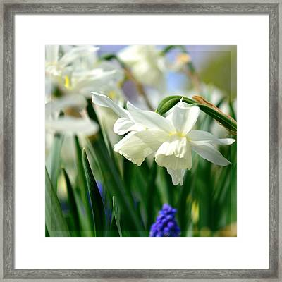 White Daffodil  Framed Print by Tommytechno Sweden
