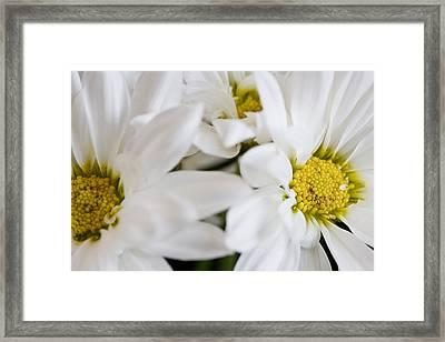 White Daisy Framed Print by John Holloway