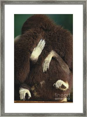 White-handed Gibbon Framed Print