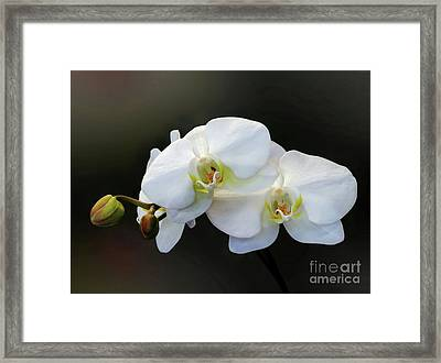 White Orchid - Doritaenopsis Orchid Framed Print by Kaye Menner