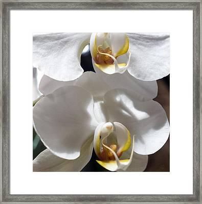 White Orchids Framed Print by Barbara Middleton