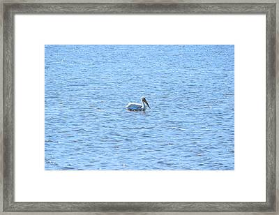 White Pelican Framed Print by Curtis Krusie