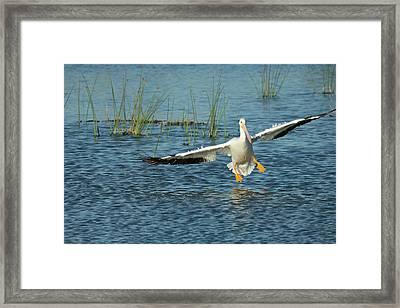 White Pelican Landing, Pelecanus Framed Print by Maresa Pryor