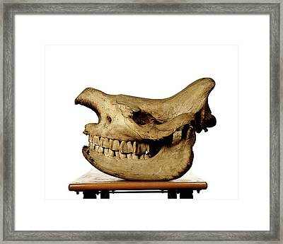 White Rhinoceros Skull Framed Print by Ucl, Grant Museum Of Zoology