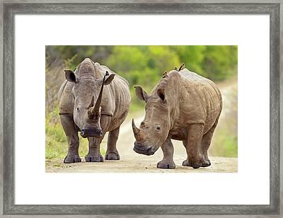 White Rhinos Framed Print by Bildagentur-online/mcphoto-schaef