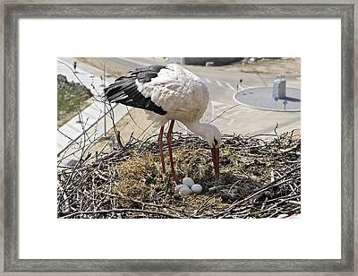 White Stork With Eggs Framed Print