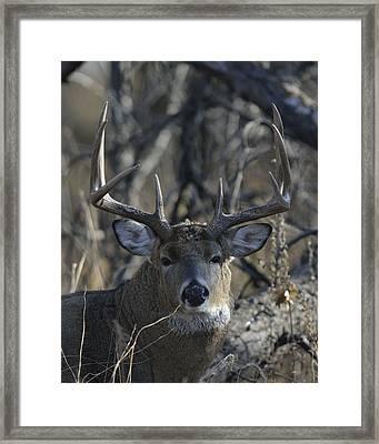 White-tailed Deer Buck In Woods And Prairie Framed Print