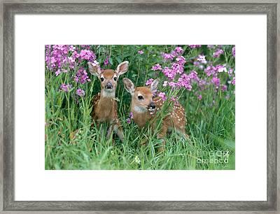 White-tailed Deer Fawns Framed Print