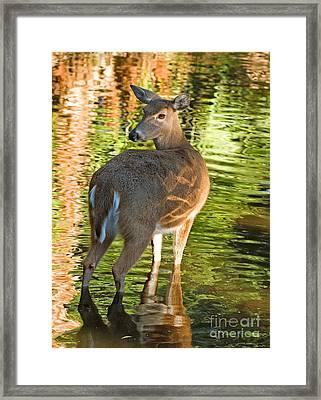 White Tailed Deer Framed Print by Millard H. Sharp