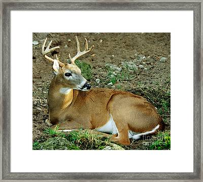 White-tailed Deer Odocoileus Virginianus Framed Print by Millard H. Sharp