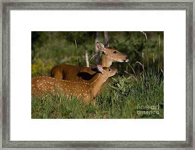 White-tailed Doe With Fawn Framed Print