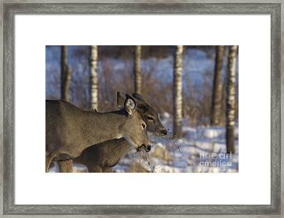 White-tailed Doe With Young Framed Print