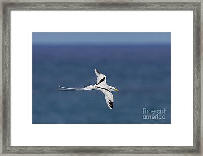 White-tailed Tropicbird Framed Print