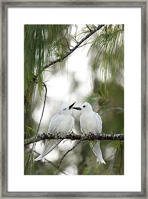 White Terns (gygis Alba Rothschildi Framed Print