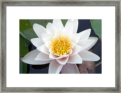 White Water Lily Framed Print by RM Vera