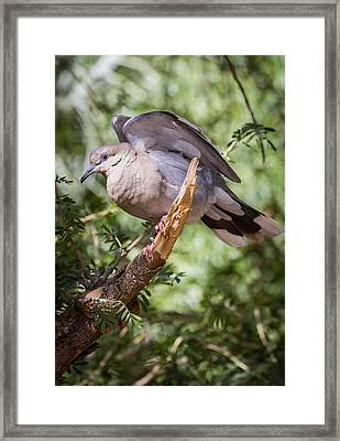 Framed Print featuring the photograph White-winged Dove by Beverly Parks
