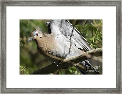 White-winged Dove Framed Print