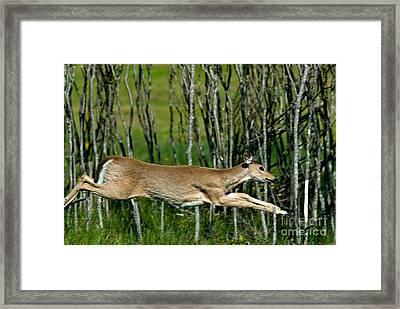 Whitetail Deer Running Framed Print