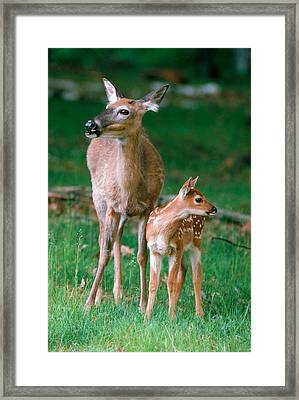 Whitetail Doe And Fawn Framed Print