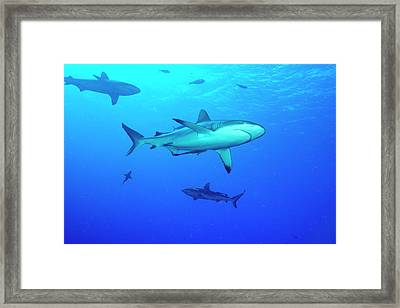 Whitetip Reef Sharks Over A Reef Framed Print