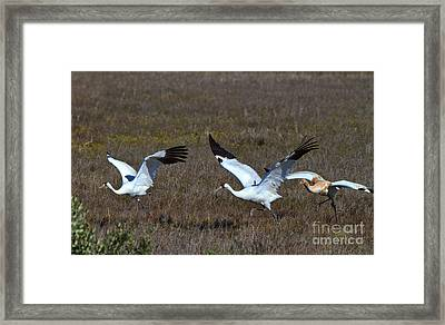 Whooping Cranes Framed Print
