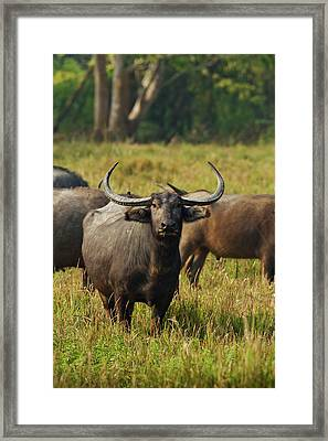Wild Buffalo In The Grassland Framed Print by Jagdeep Rajput