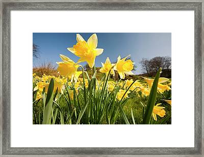 Wild Daffodils Framed Print by Ashley Cooper