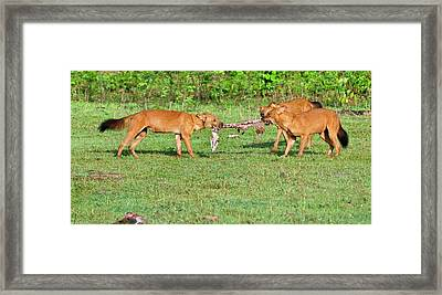 Wild Dogs Playing With A Carcass Framed Print by K Jayaram