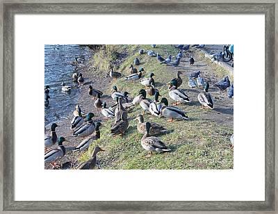 Wild Ducks Framed Print
