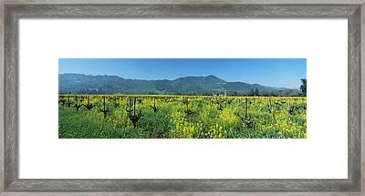 Wild Mustard In A Vineyard, Napa Framed Print